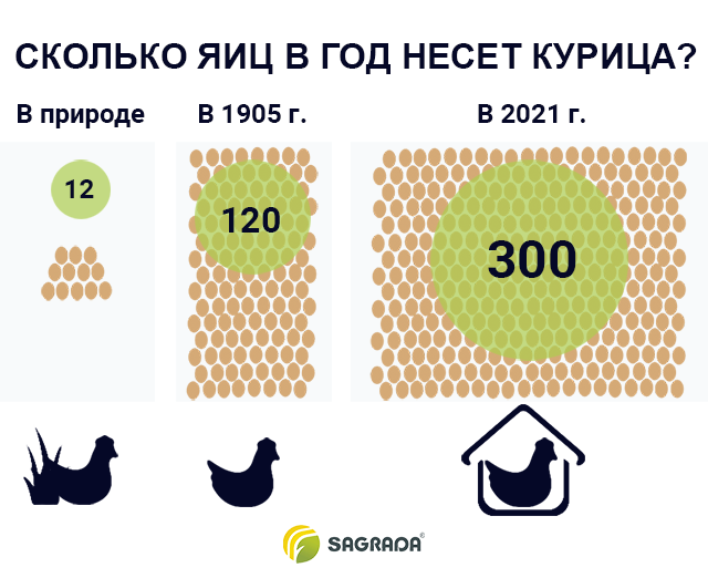 Сколько яиц в год несет курица?